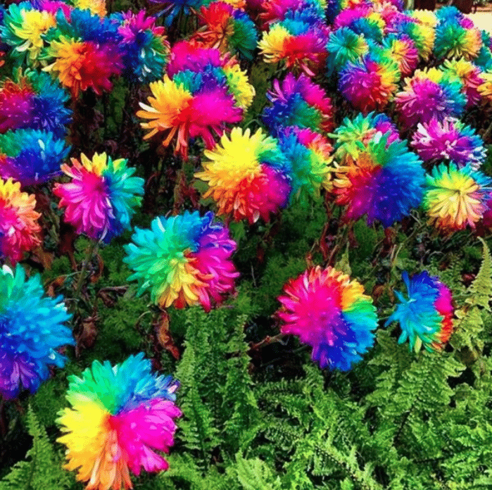 100Pcs Rainbow Chrysanthemum Seeds