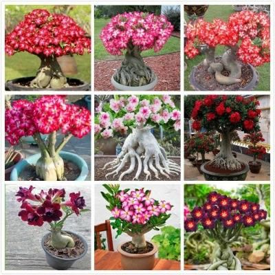 2Pcs Rainbow Desert Rose Seeds