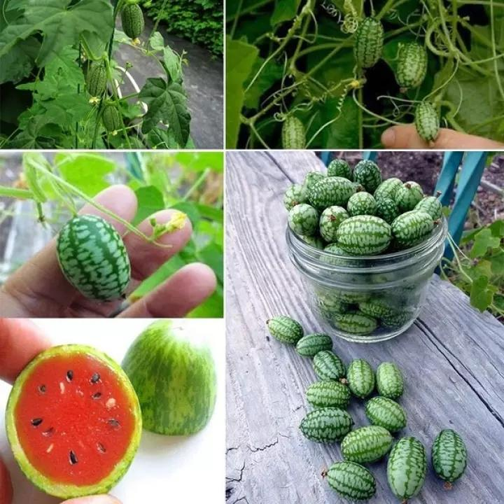 10 PCS RARE SEEDS THUMB WATERMELON SEEDS