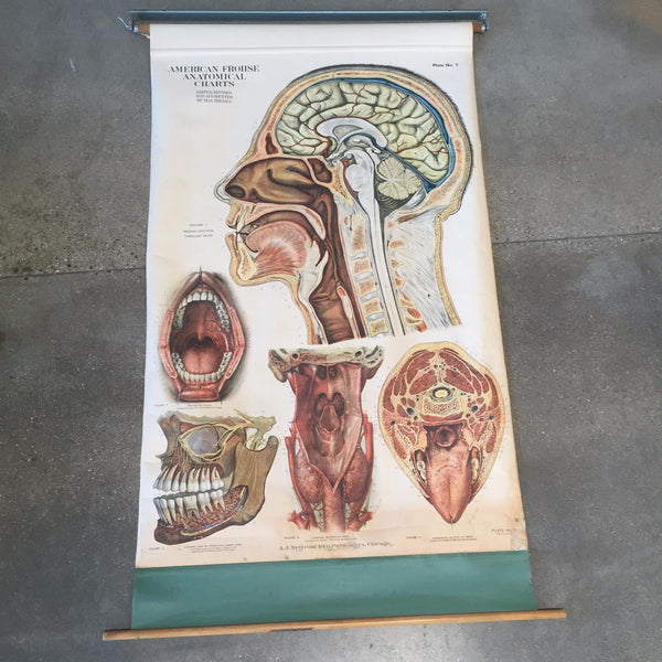 Antique American Frohse Anatomical Chart , Plate #7
