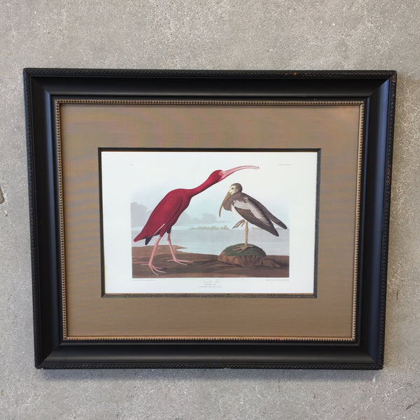 Framed Antique Audubon Scarlet Ibis Print