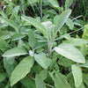 Sage (Salvia officinalis) Tincture