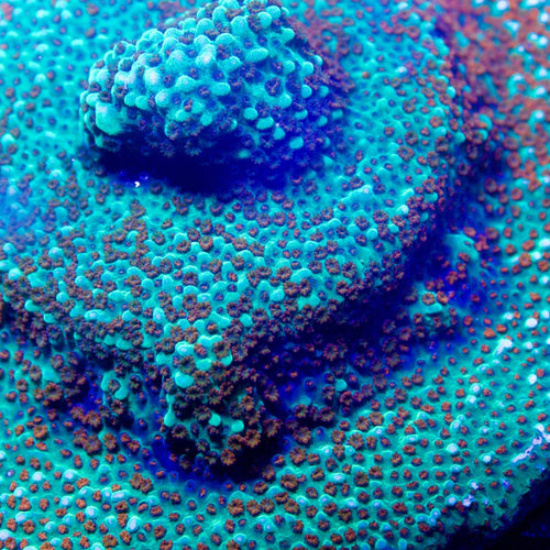 Jason Fox, Aquaman Montipora