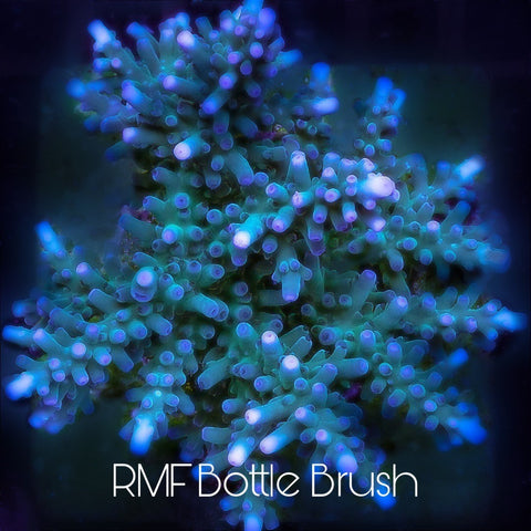 "Rocky mountain Frags "" Bottle Brush"""
