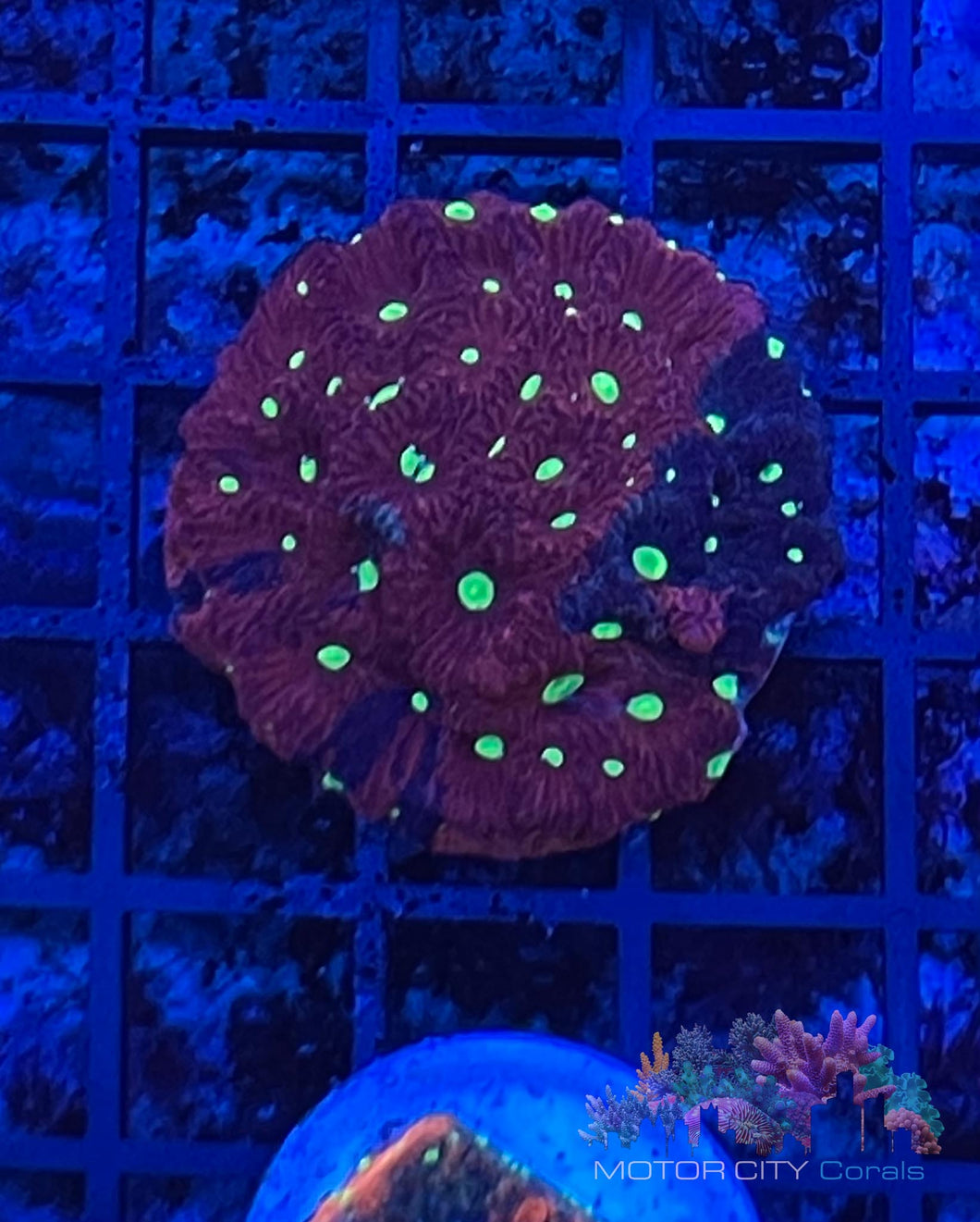 2 faced war coral