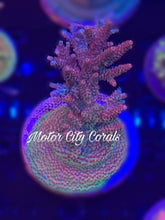 Load image into Gallery viewer, Reef Raft Taiwan Millepora