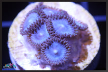 Load image into Gallery viewer, Tubbs Blues, Zoanthid
