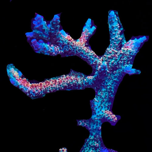 JB's Copper Flame Acropora