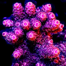 Load image into Gallery viewer, MCC Rouge Millepora
