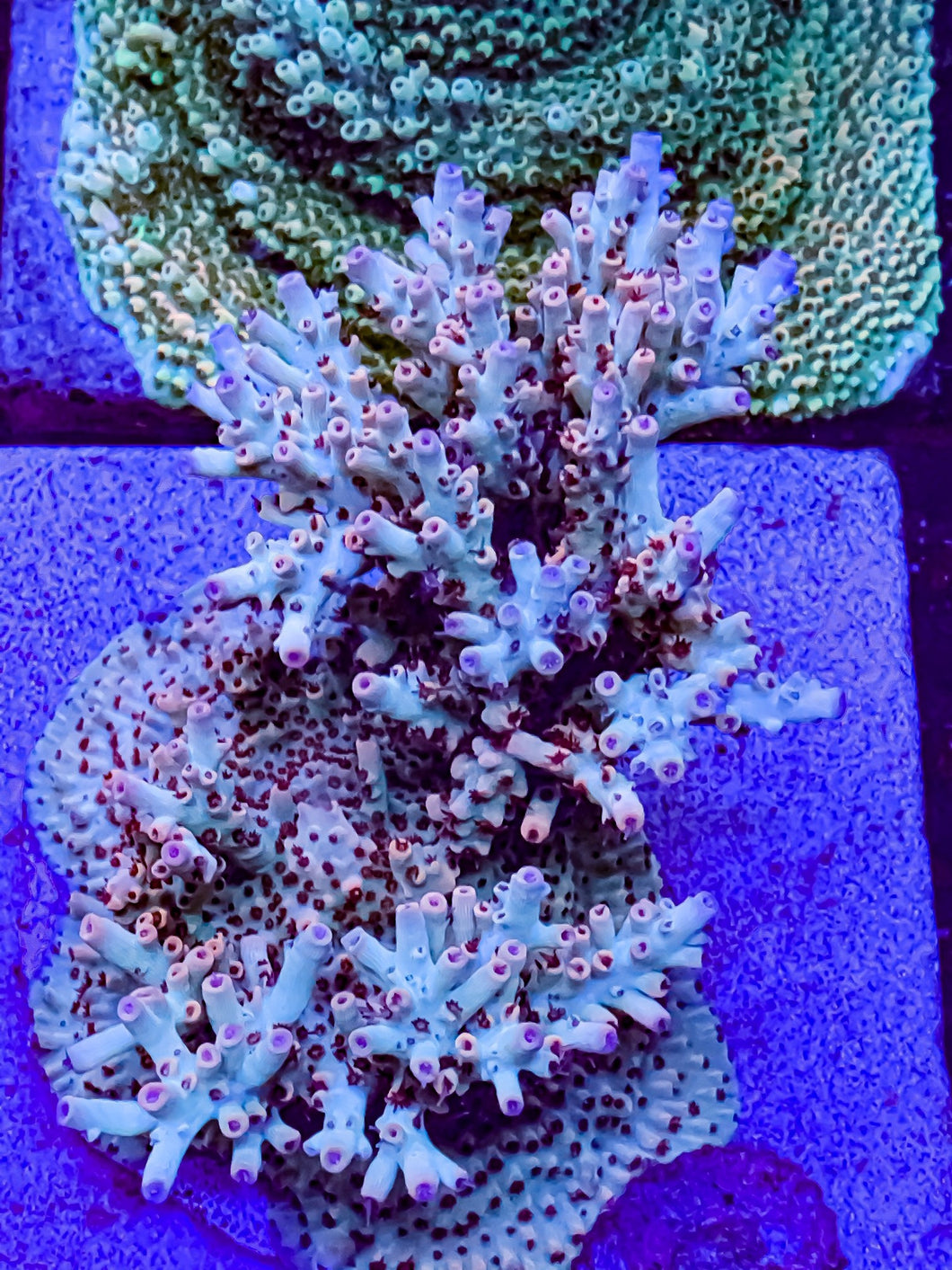 Reef Raft Asia, Phantom Acropora