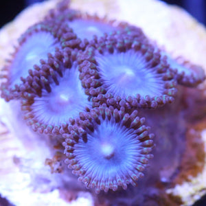 Tubbs Blues, Zoanthid
