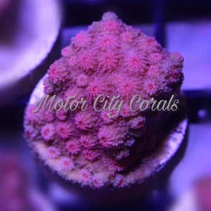 Tyree Blood Red, Cyphastrea