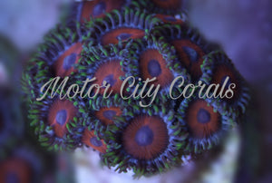 Whimmin Watermelons, Zoanthid