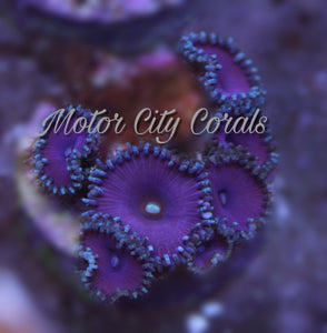 Purple Death, Zoanthid