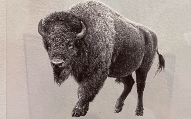 Realistic reverse painting of a bison - Image by Jennifer Whitten