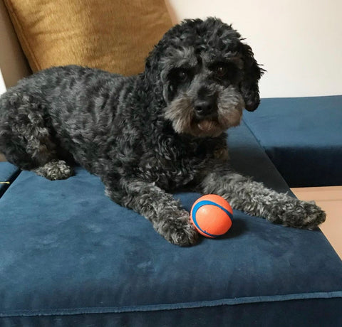 Chuckit! Ball. This gorgeous dog loves his new ball!
