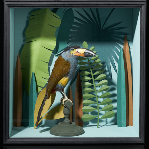 Selection of Taxidermy Toucans in Designer Display Cases.
