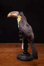 Afbeelding in Gallery-weergave laden, Selection of Taxidermy Toucans on Museum Stands