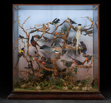 "Load image into Gallery viewer, 19th C, Taxidermy Ornithological Showcase ""Paradise"" by Roland Ward."