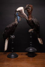 Load image into Gallery viewer, Pair of taxidermy Casqued Wattled Hornbills, Ceratogymna, NL