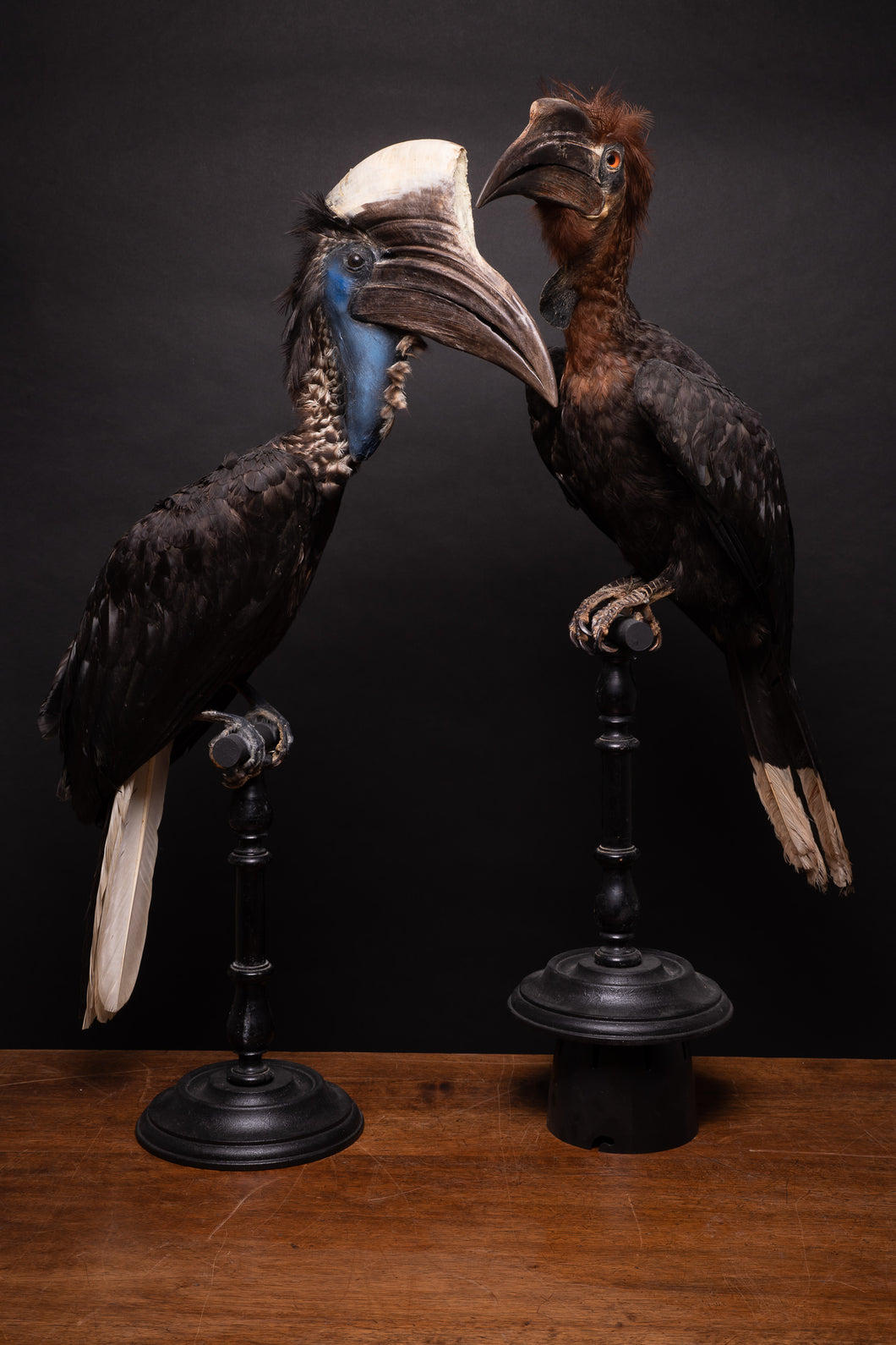 Pair of taxidermy Casqued Wattled Hornbills, Ceratogymna, NL