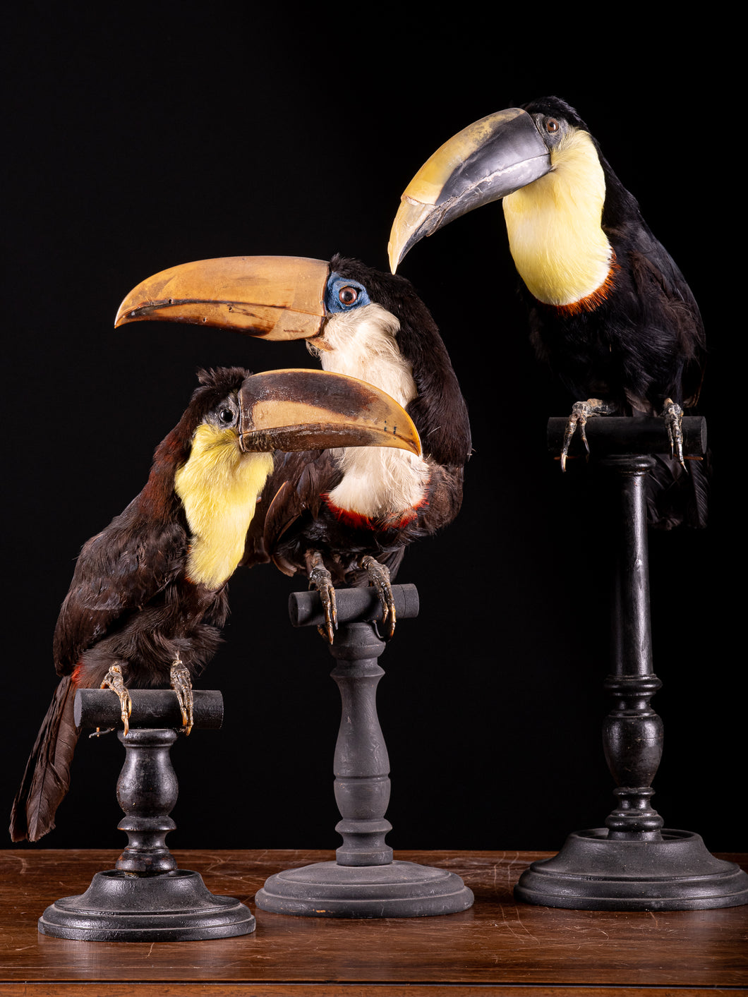Selection of Taxidermy Toucans on Museum Stands