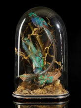 "Load image into Gallery viewer, 19th C, Large Victorian oval glass dome/shade with  2 Taxidermy Male Pharomachrus Mocinna ""Resplendent Quetzal""."