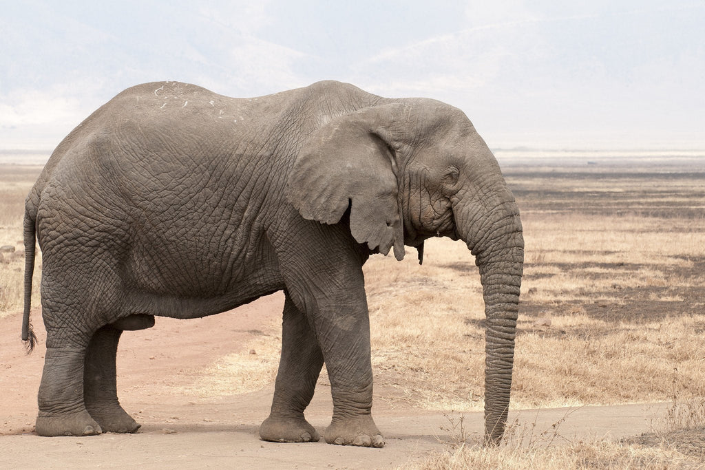 Elephants Are Evolving to Not Have Tusks Because of Poaching