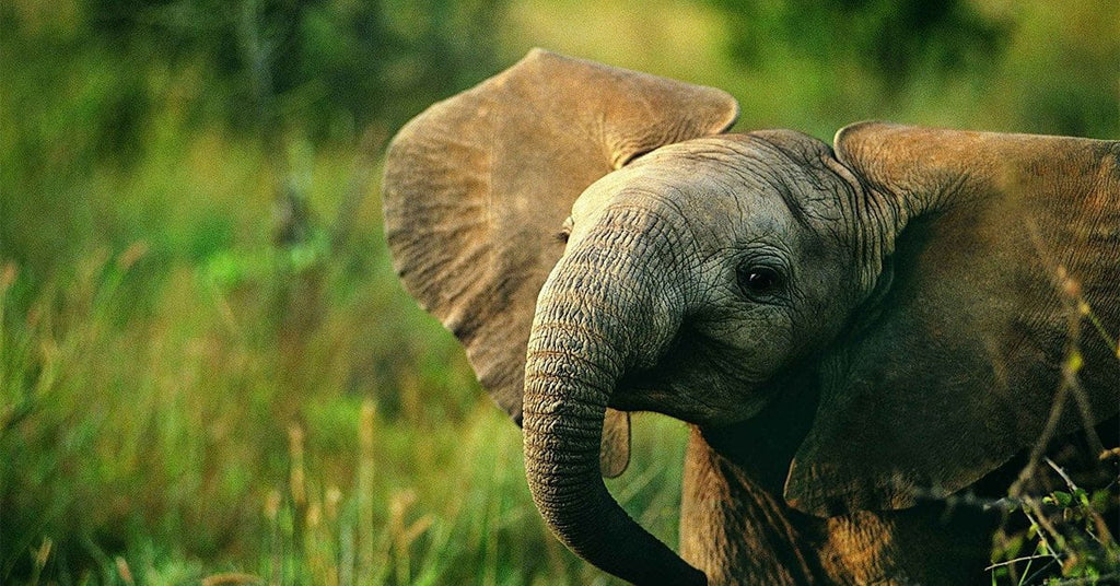 (Quiz) How Much Like An Elephant Are You?