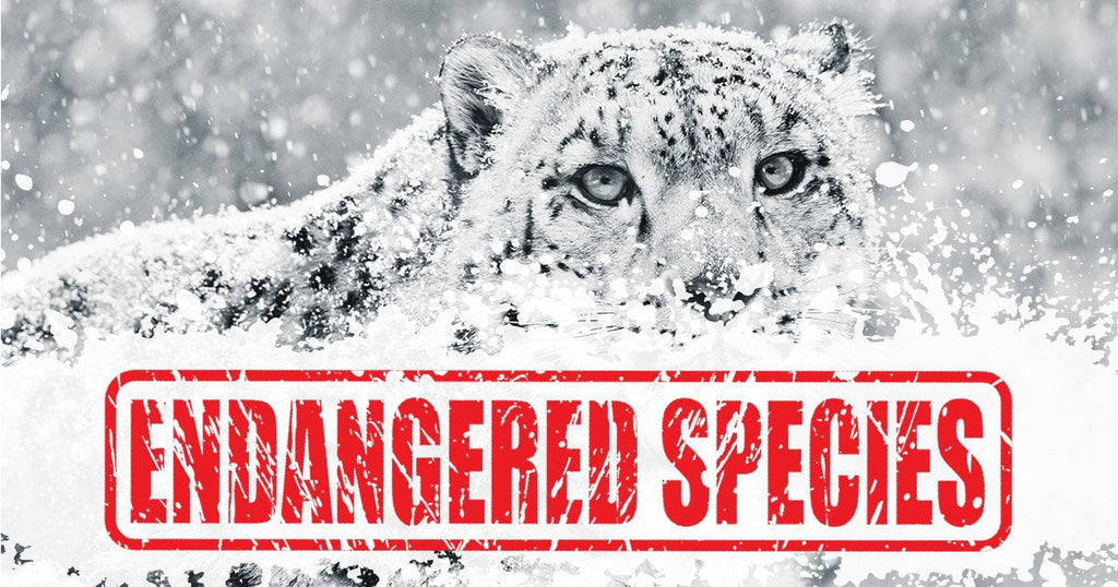 What You Need To Know About Snow Leopards (Infographic)
