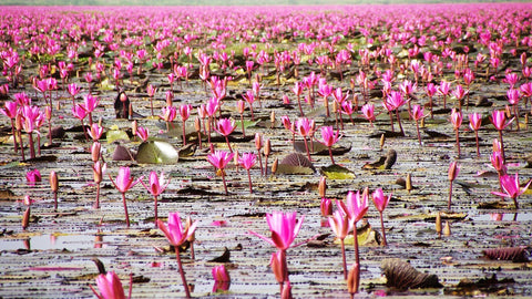 red lotus, ten, must see, most beautiful, thailand