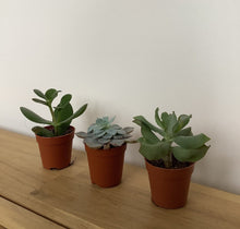 Load image into Gallery viewer, Mini Succulent