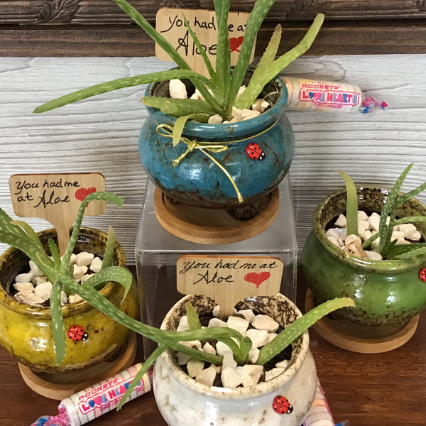 007-52 Aloe Vera Plants - Lady Bug Blossoms
