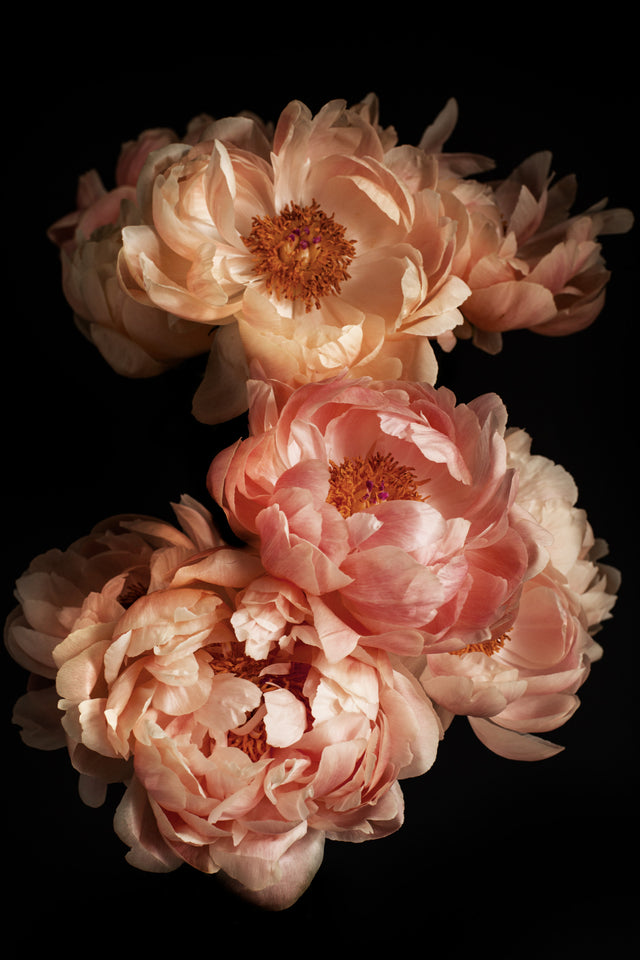 Coral peonies photographed in their late stages. They change their beautiful colors and turn from coral to pastel yellow tones. A romantic peony print with a black background available in various sizes and materials.