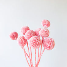 Load image into Gallery viewer, Billy Buttons - Pale Pink