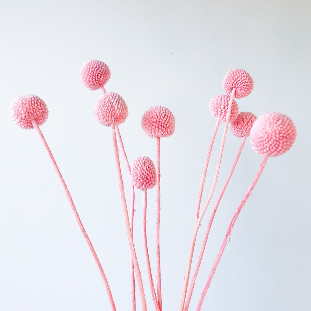 Billy Buttons - Pale Pink