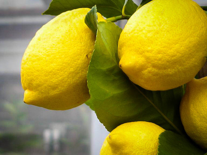 Tips for Caring for your Lemon Tree