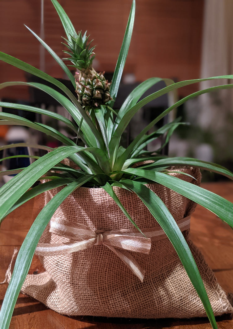 Ornamental Pineapple Plant
