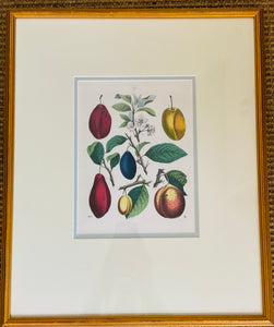 German Hand Colored Fruit Engraving, circa 1846