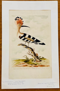 Antique Ornithology Engraving by Thomas Lord, 18th century