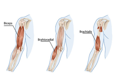Bicep-Muscle-Anatomy