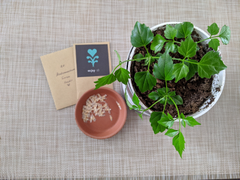 """Radermachera Sinica """"china doll plant"""" seeds and seedlings"""