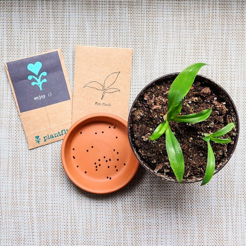 These Chlorophytum Amaniense babies are a great size for repotting, they have a couple of adult leaves and have been acclimated to fresh air, so they'll be hardy enough to bounce back after a repotting!