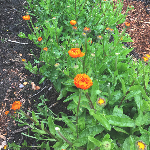 A row of calendula flowers begin to blossom at Wrangell's Ocean View Gardens