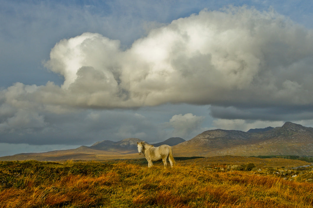 Connemara pony, Co Galway