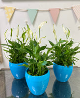 Peace Lily (Spathiphyllum) indoor plant in ceramic pot