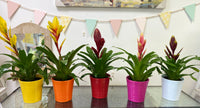 Bromelia Indoor Plant in Ceramic Pot
