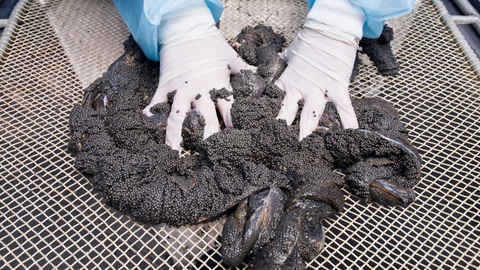 caviar being sorted by hand
