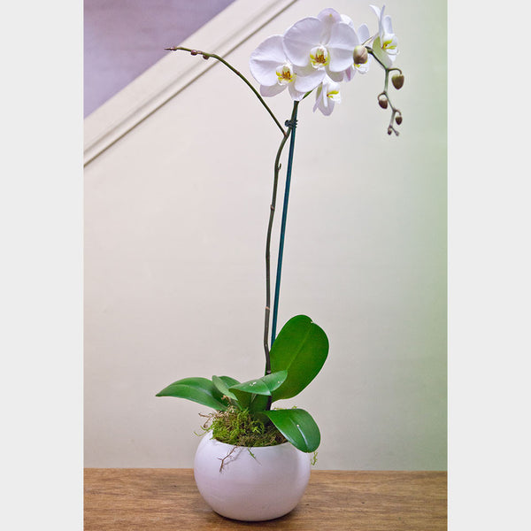Phalaenopsis Orchid In A Ceramic Fishbowl