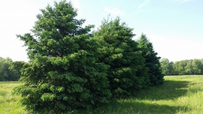 Colorado Blue Spruce Bundle of 25